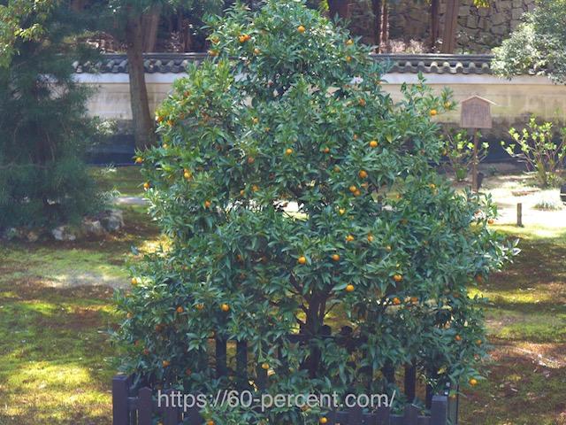 青蓮院門跡の宸殿前庭の右近の橘の画像