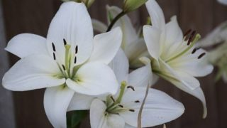 ユリの花のイメージ画像