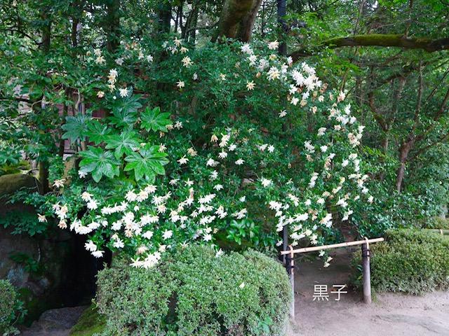 詩仙堂の庭園のくちなしの画像