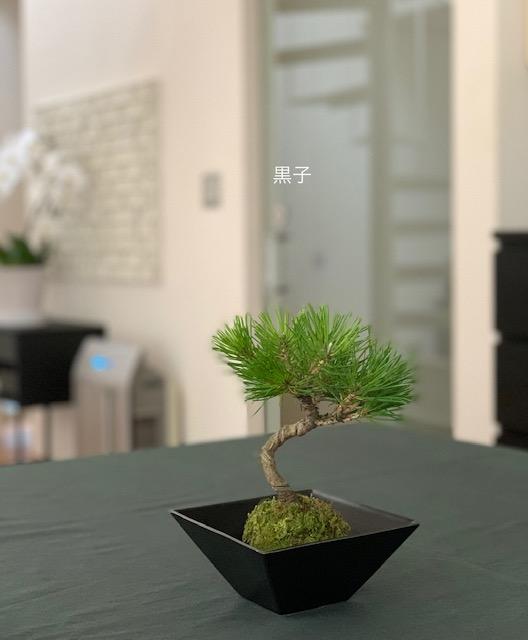 東寺の弘法市(骨董市)で買ってきた苔玉盆栽の画像