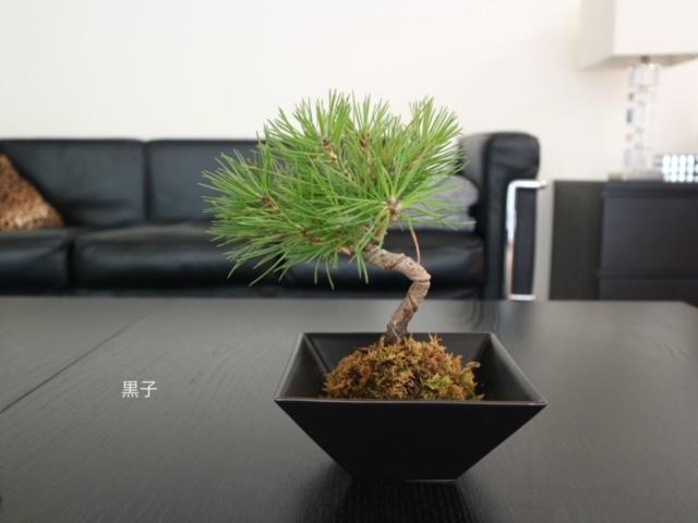 弘法市で購入した苔玉盆栽の画像