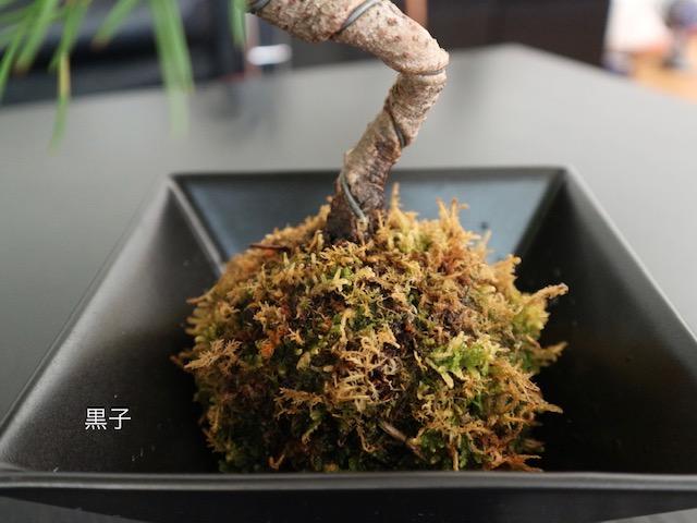 茶色く変色した苔玉盆栽の画像