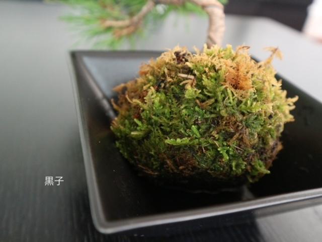 緑色の苔玉盆栽の画像