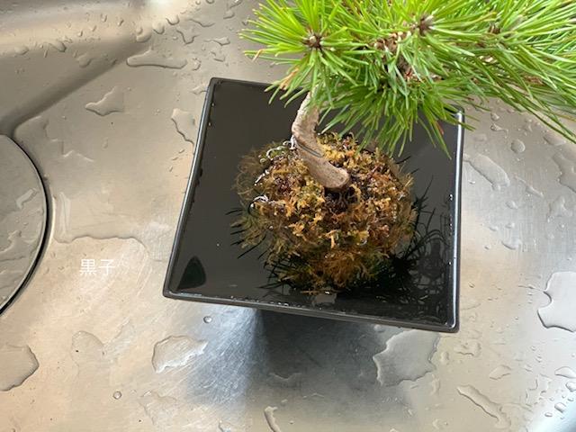 腰水中の苔玉盆栽の画像