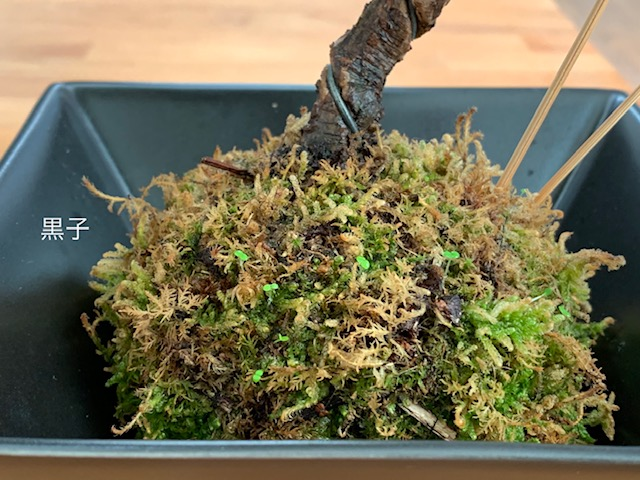 新芽が生えてきた苔玉盆栽の画像