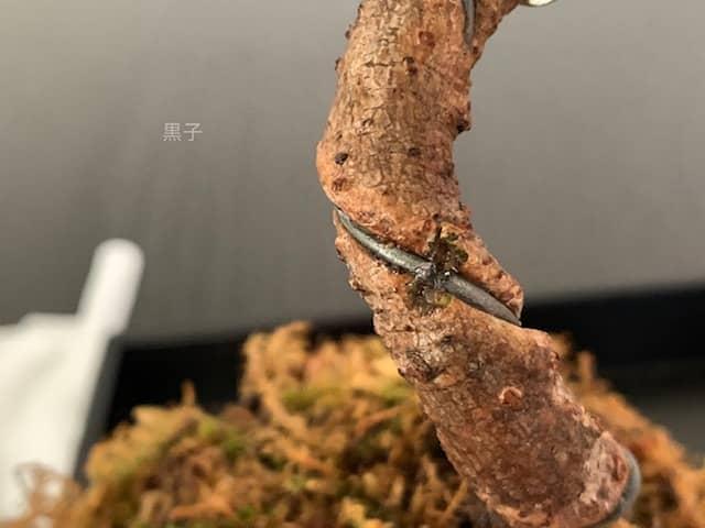盆栽に食い込んだ針金を取り除く画像