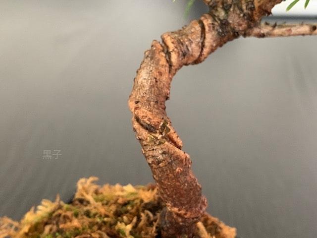 針金が食い込んだ盆栽の画像