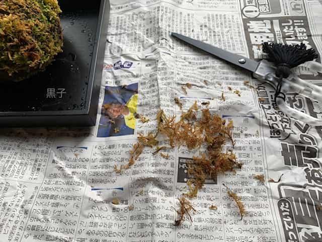 枯れた葉をカットする苔玉の画像