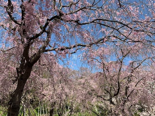 原谷苑の桜の画像