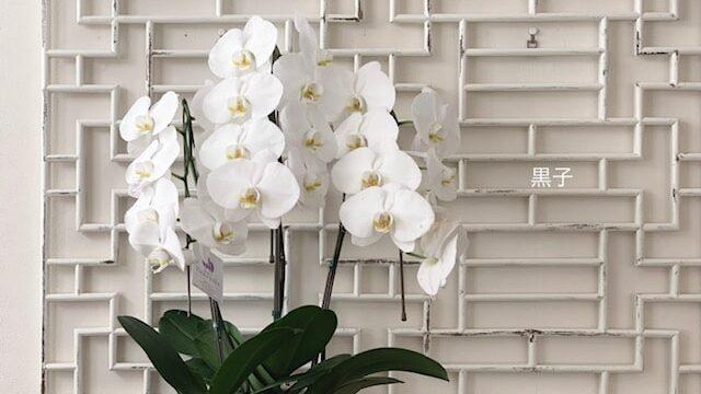 頂いたばかりの胡蝶蘭の画像