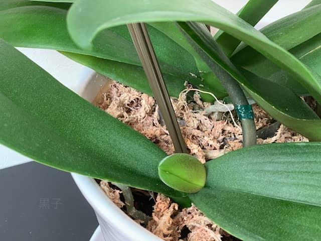 胡蝶蘭の新葉の画像