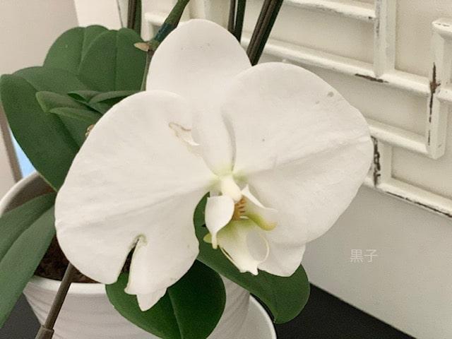傷んだ胡蝶蘭の花の画像