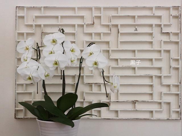 3ヶ月目の胡蝶蘭の画像
