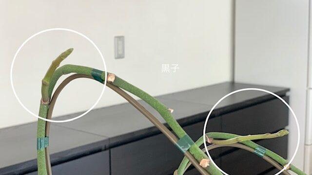 胡蝶蘭の新芽の画像