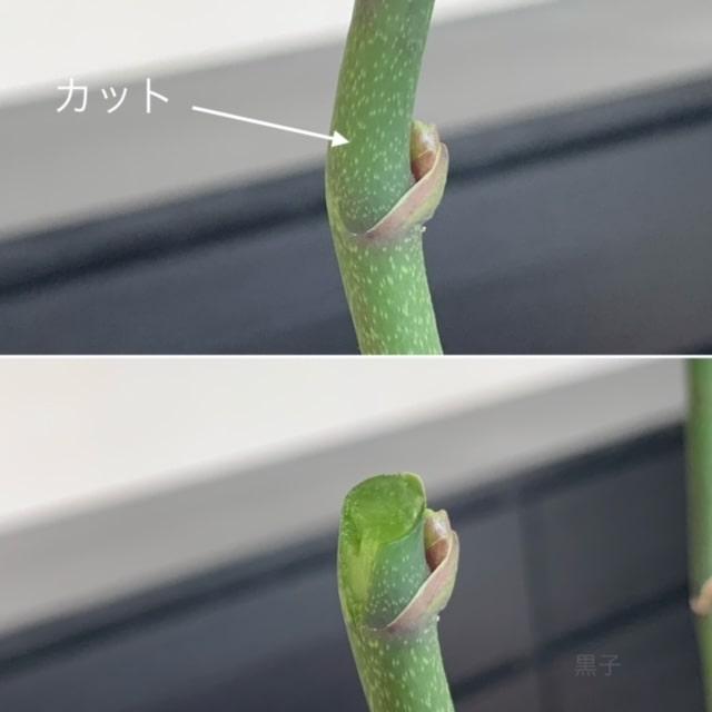 胡蝶蘭の茎をカットした画像