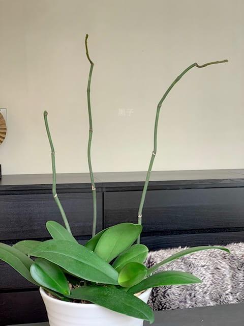 花が終わった後の胡蝶蘭の画像