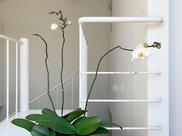 もう一度咲いた胡蝶蘭の画像