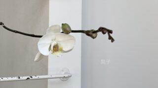 二度咲きの胡蝶蘭の画像