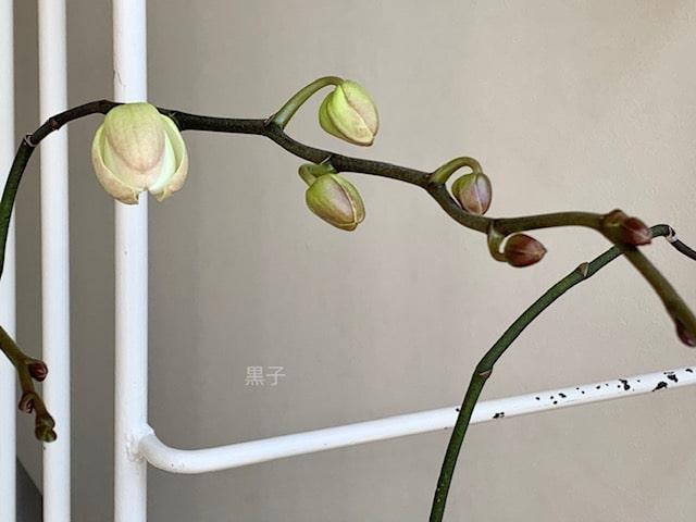 胡蝶蘭2番花のつぼみの画像